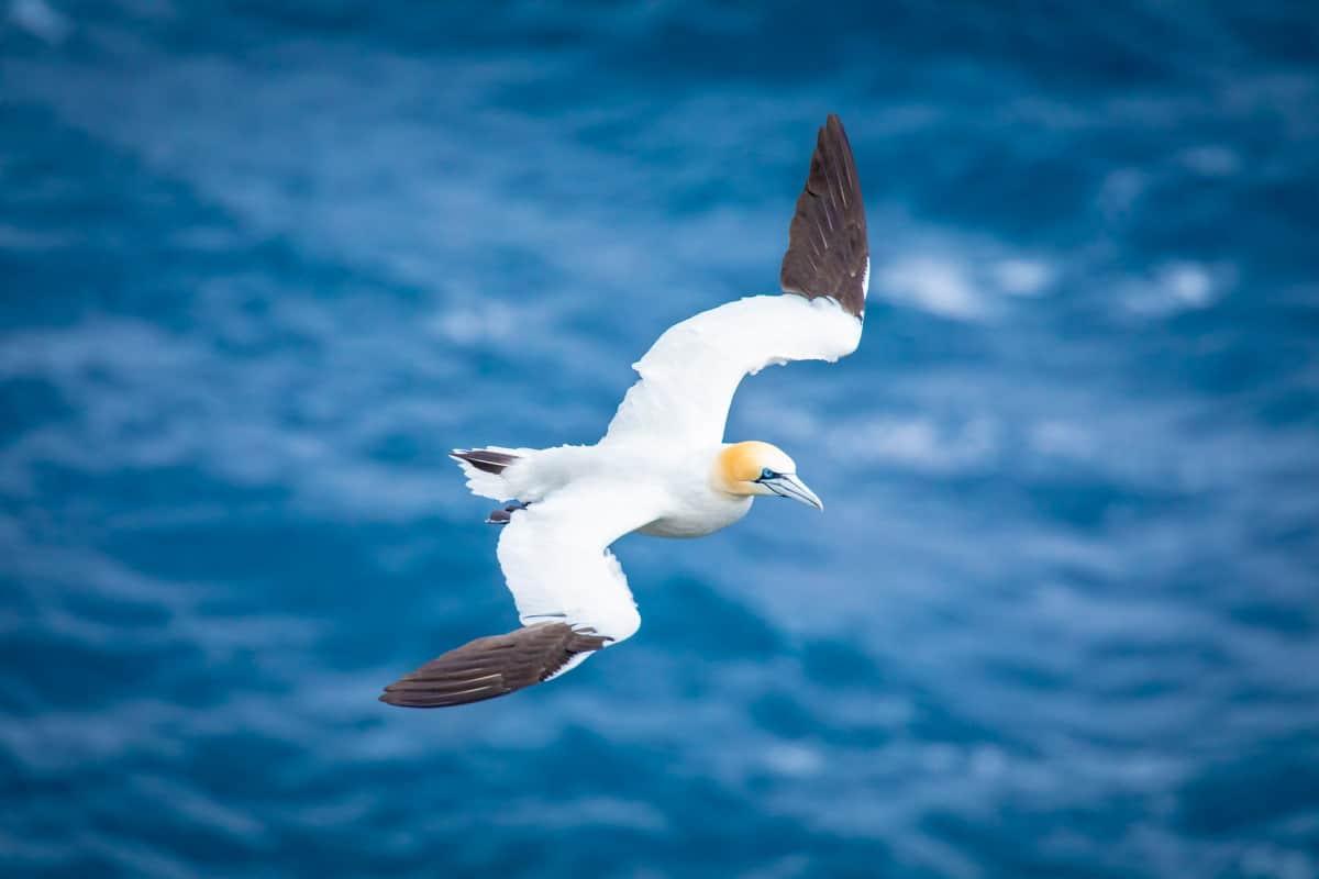 Fotoreis Helgoland - vliegende Jan van Gent