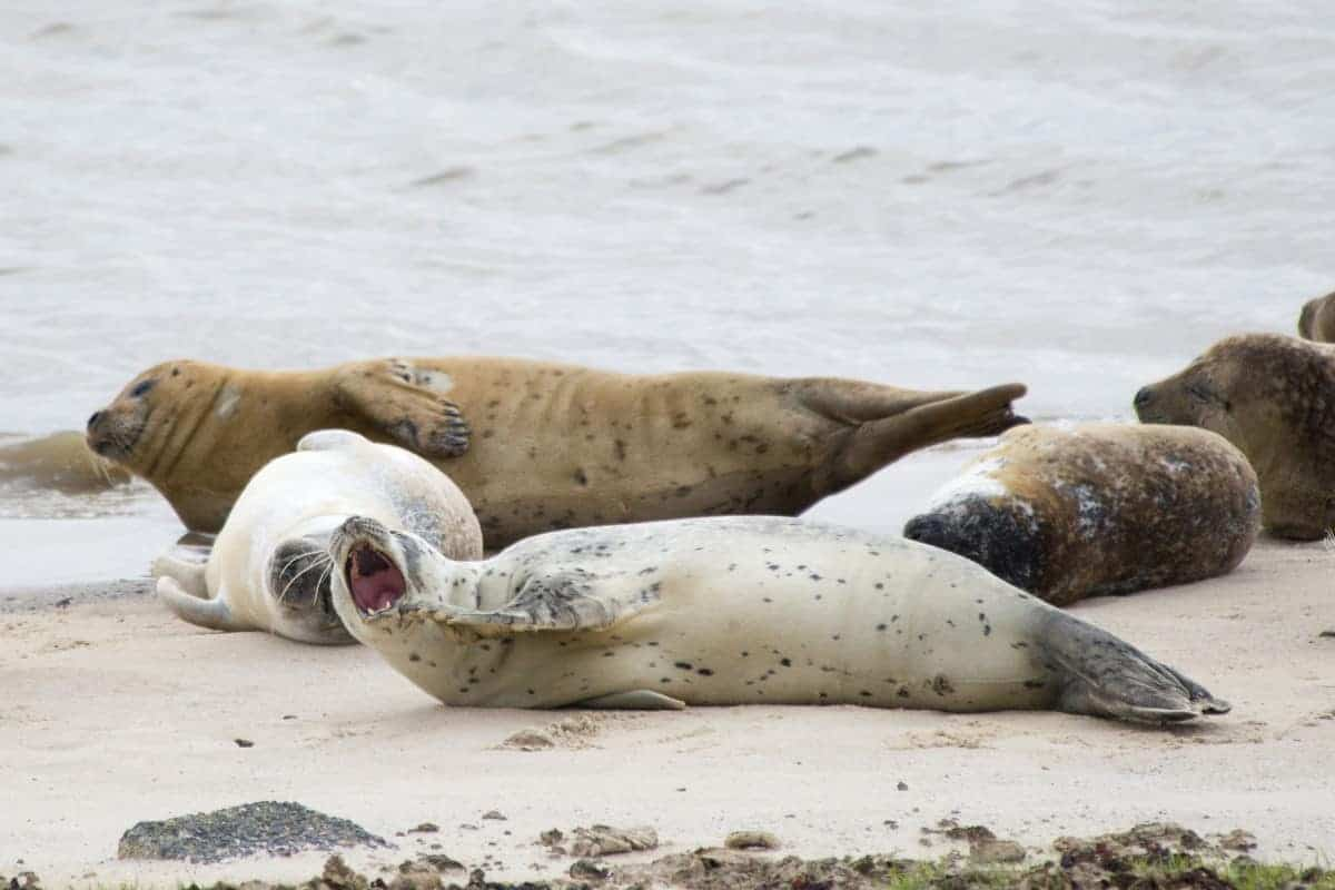Fotoreis Helgoland - zeehonden huilen