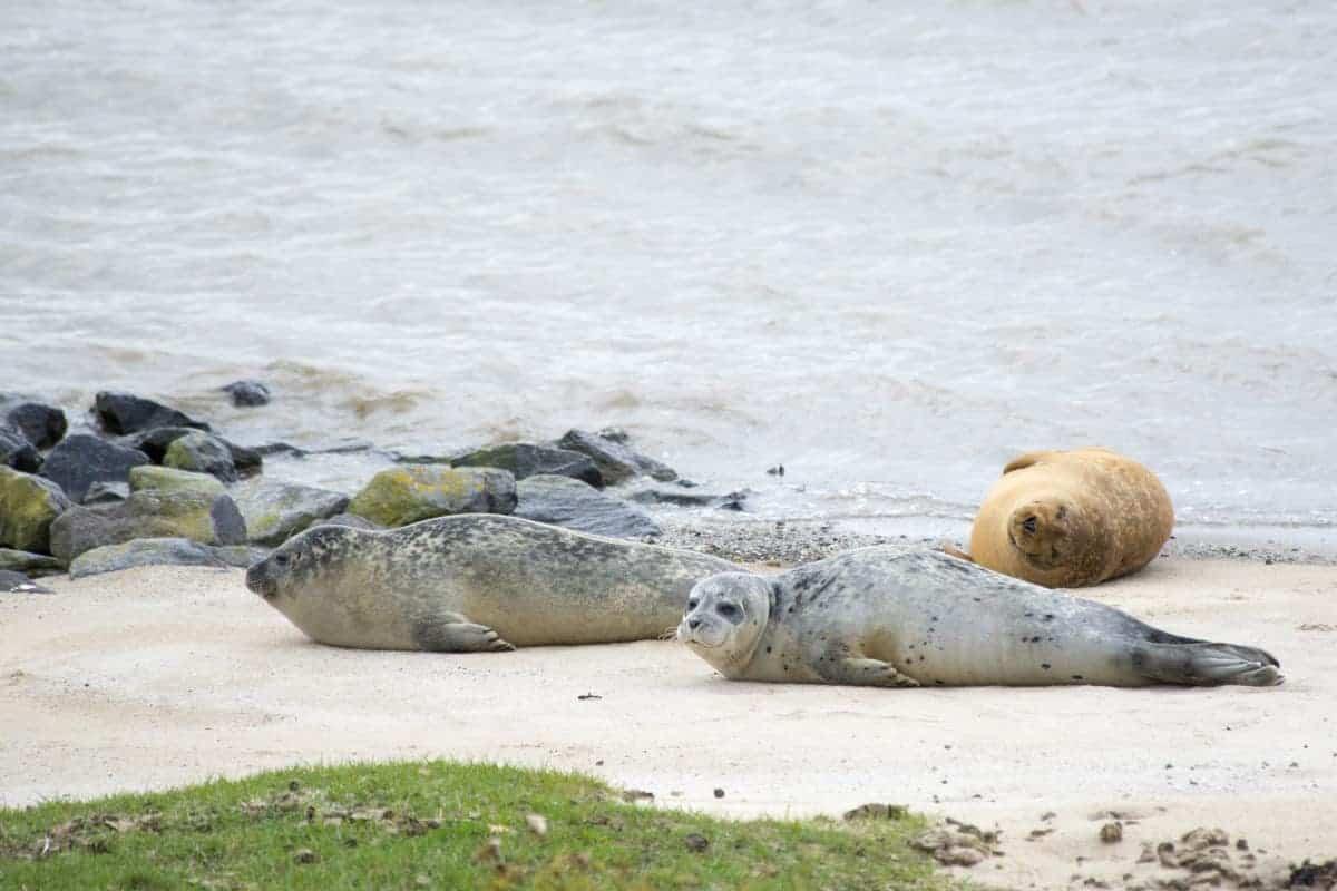 Fotoreis Helgoland - zeehonden op het strand