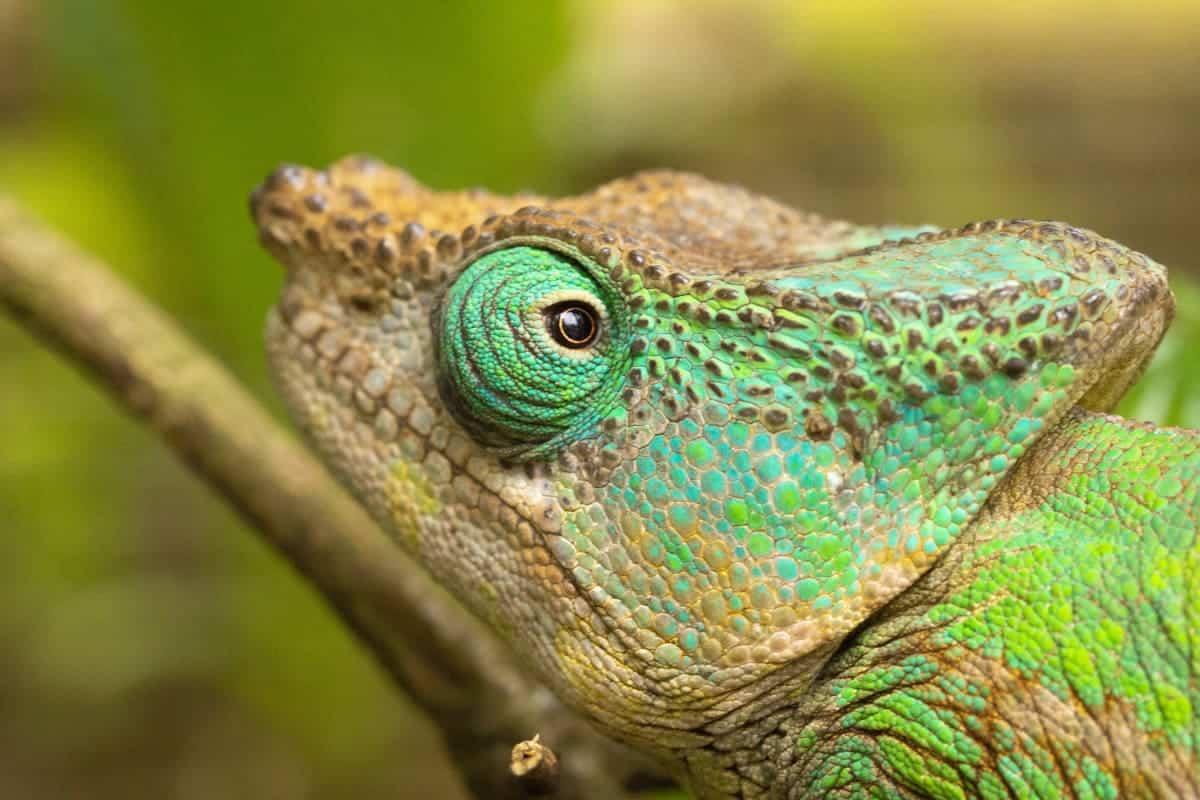 Fotoreis Madagaskar Parc d Anja kameleon