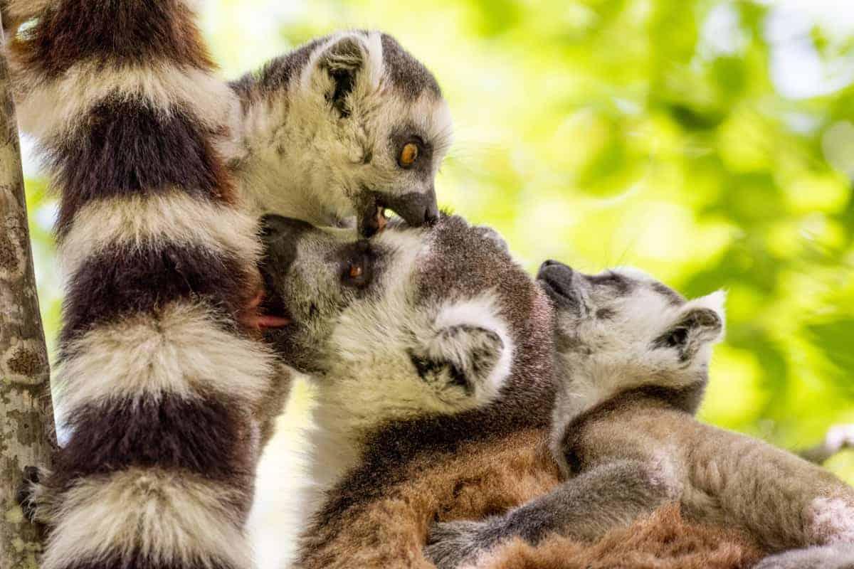 Fotoreis Madagaskar Parc d Anja ringstaatmaki