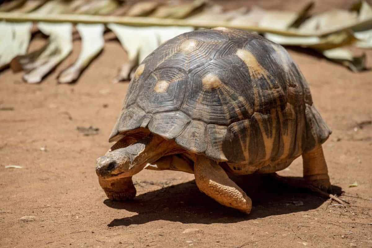 Fotoreis Madagaskar Tsaranoro schildpad