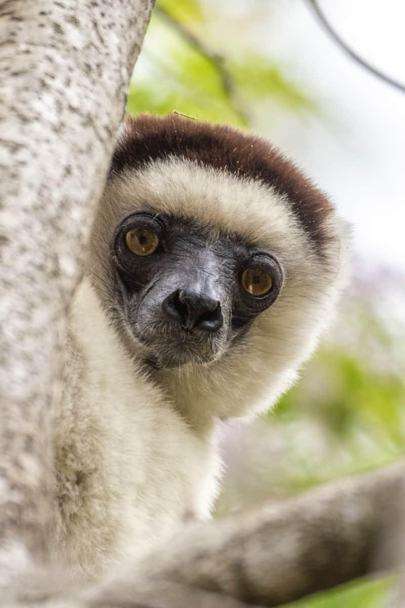 Fotoreis Madagaskar kiekeboe lemuur