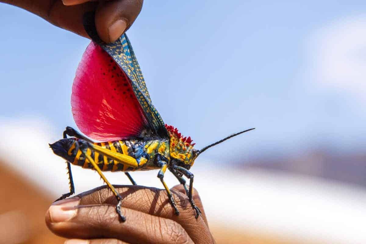 Fotoreis Madagaskar kleurig springhaan