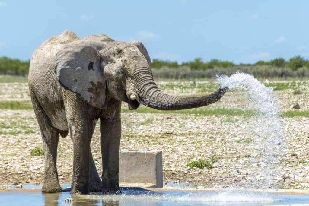 Fotoreizen Afrika Spuitende olifant