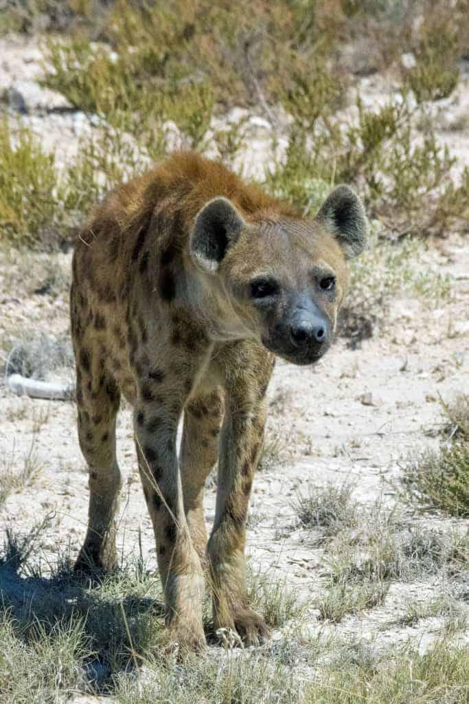 Fotoreizen Afrika gevlekte hyena