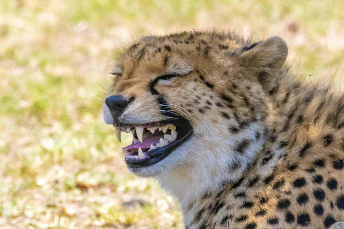 Grinzende cheetah Fotografiereizen