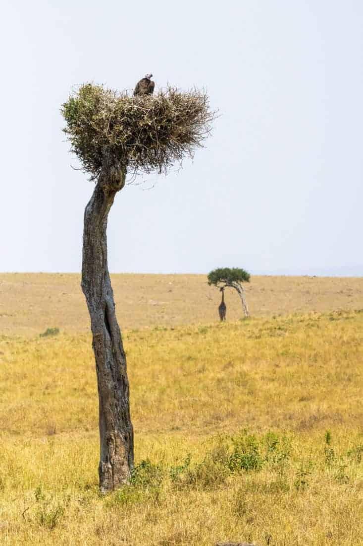 Maasai Mara Kenia fotosafari