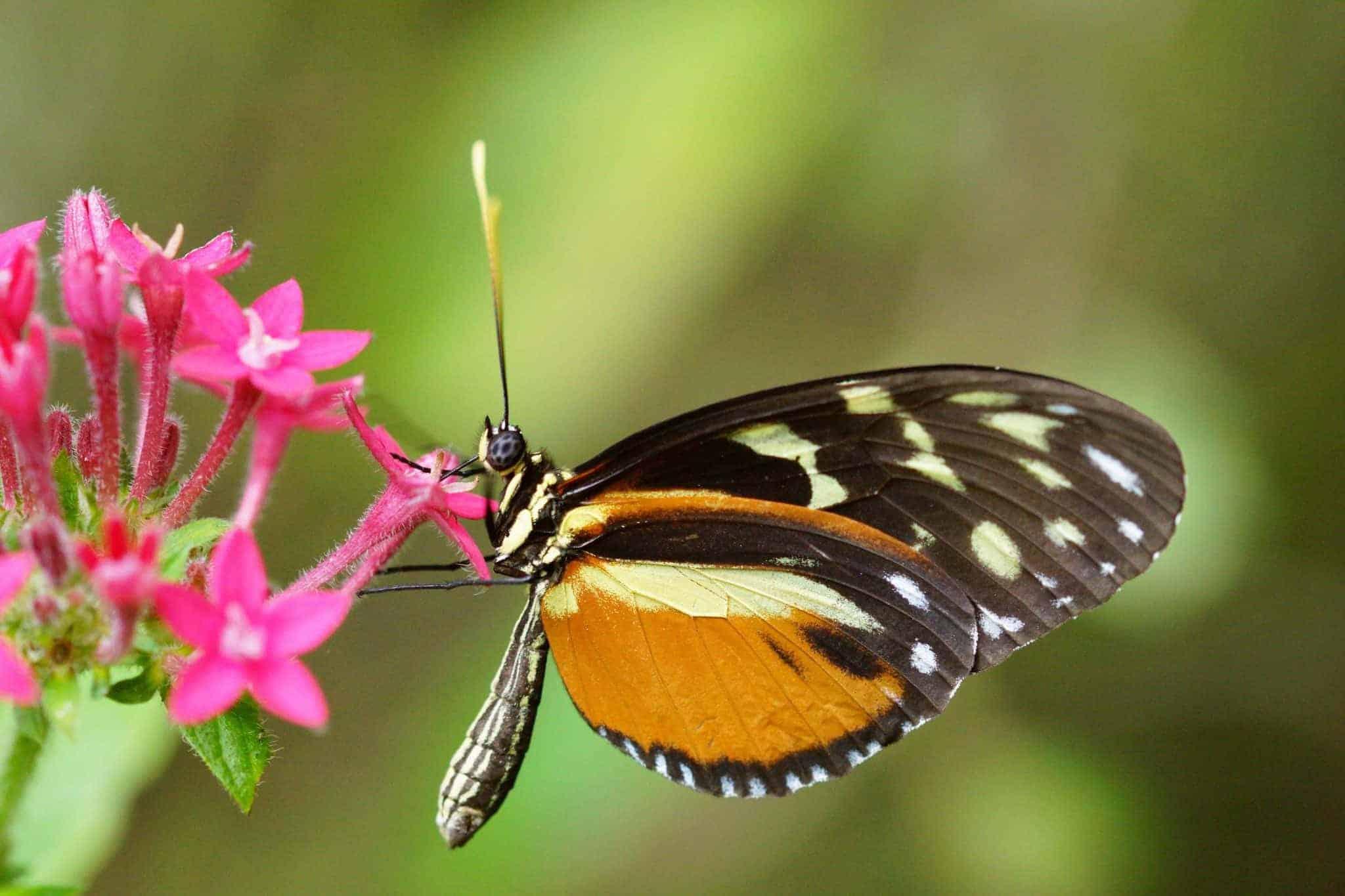 Vlinder op roze bloem - fotografie-reizen.nl