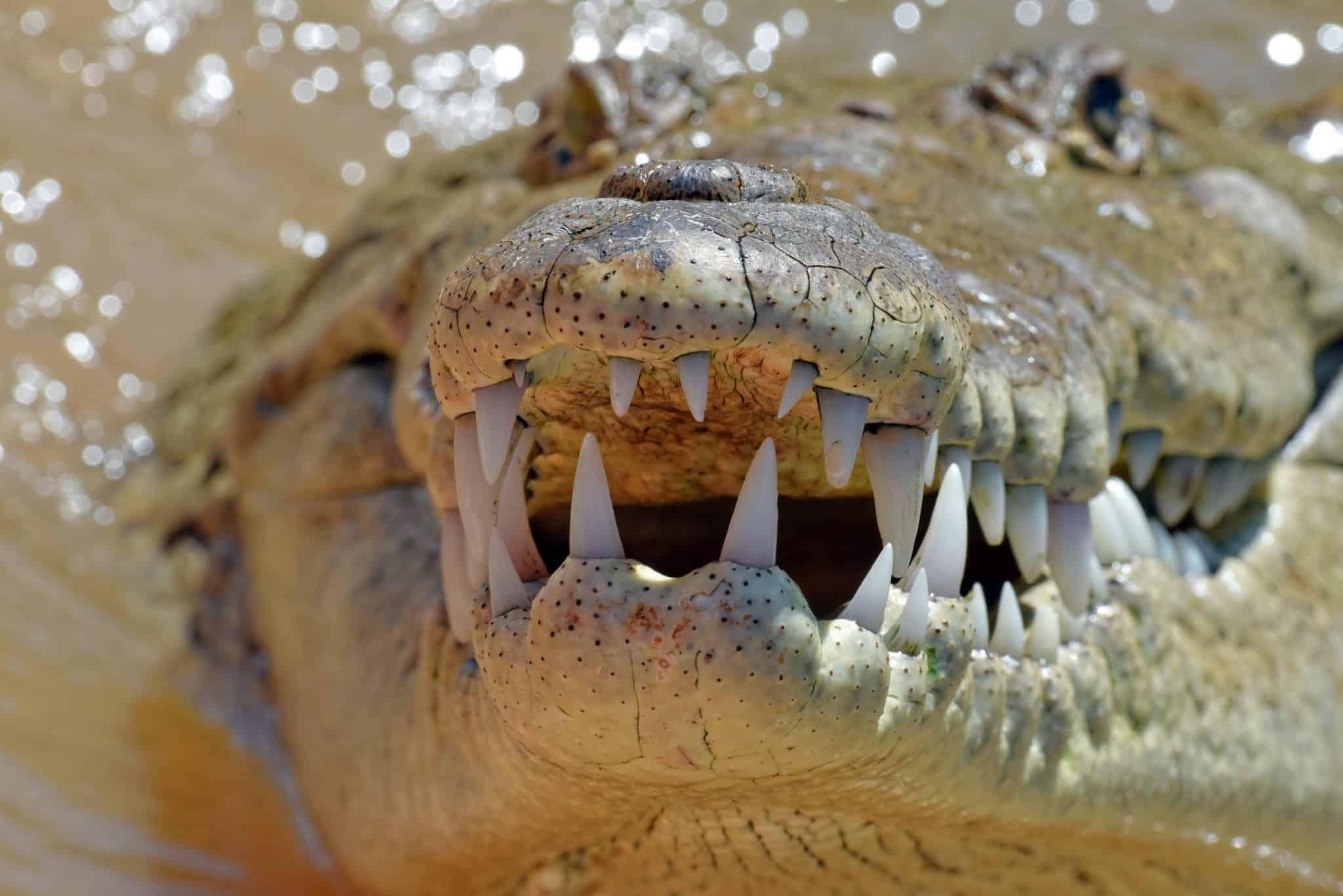 Crocodylus acutus Country: Costa Rica