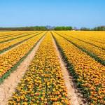 tulpenveld pannerden