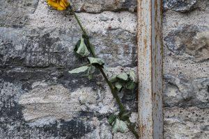 Enslig blomst festet bak et nedløpsrør på en steinfasade i Riga.