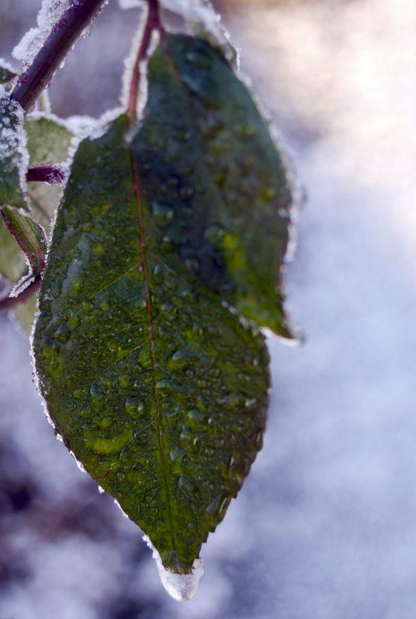 Frosne blader i sært, men delikat vinterlys.