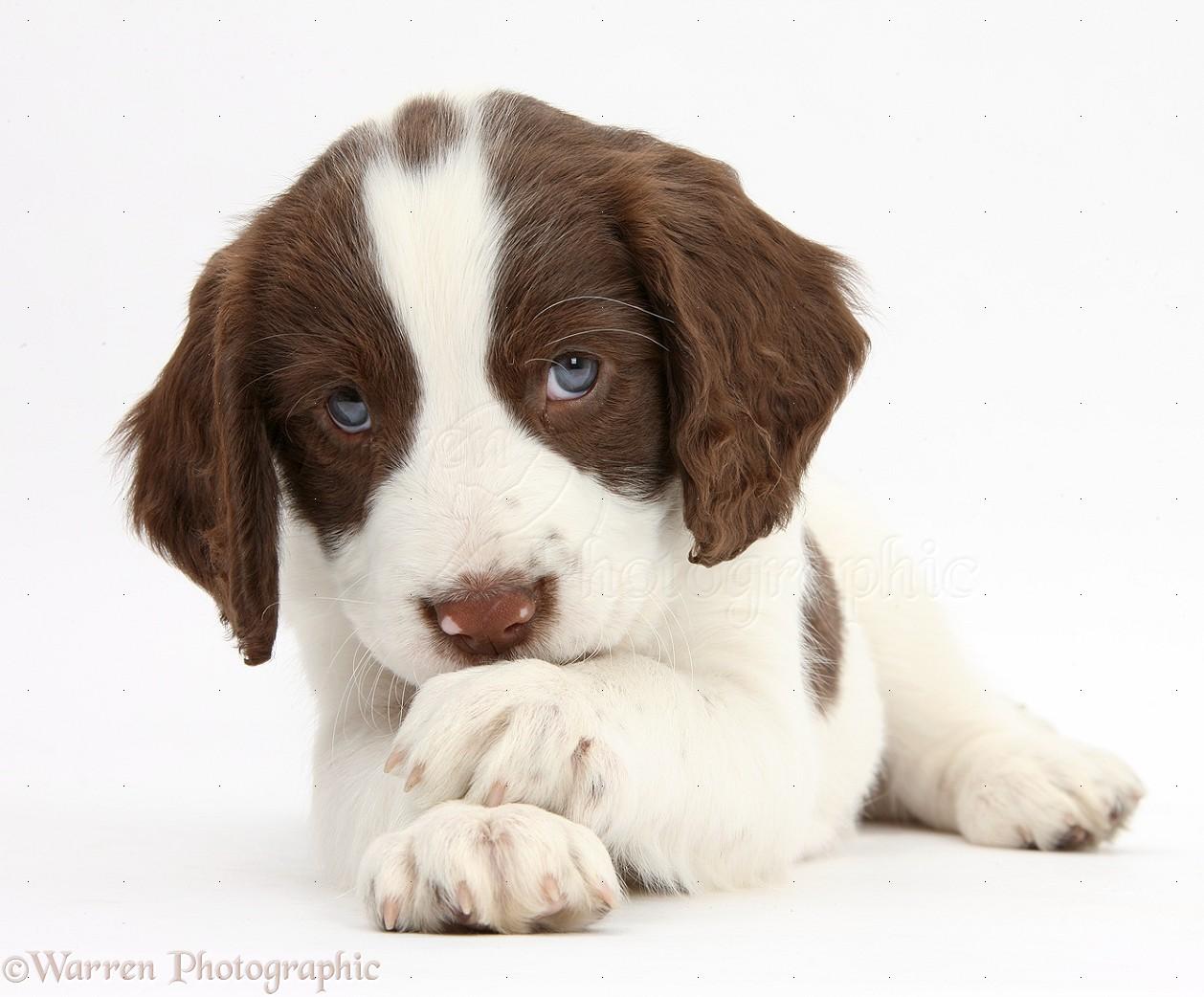 Springer Spaniel Puppies Fotolip