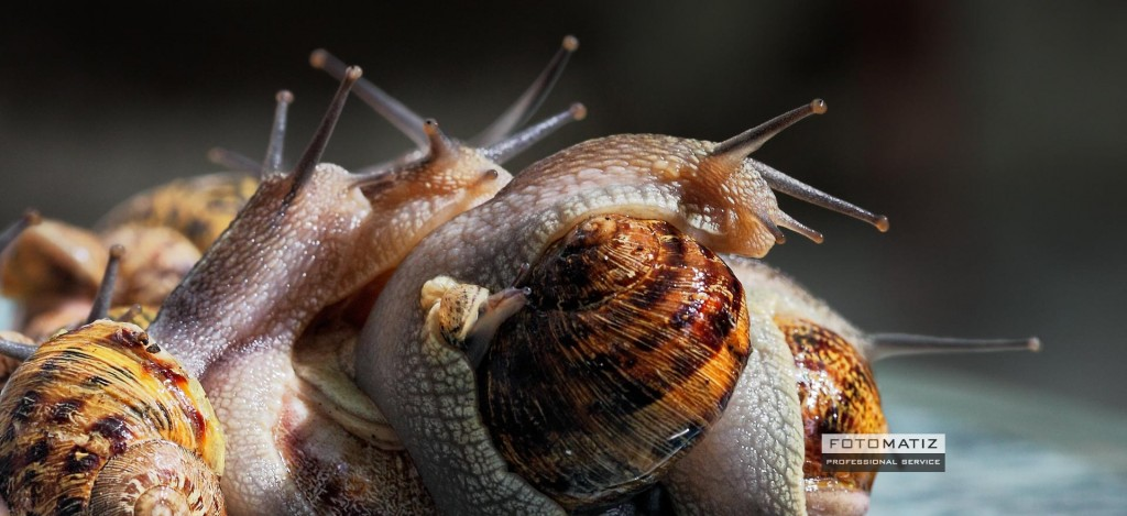 Mating snails on a rainy day