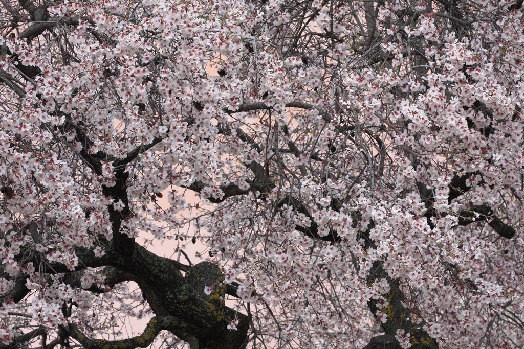 A tree blooming in Moratalla (Murcia)