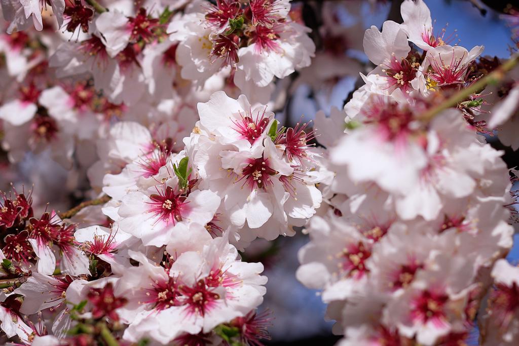 Tree blooming in Murcia
