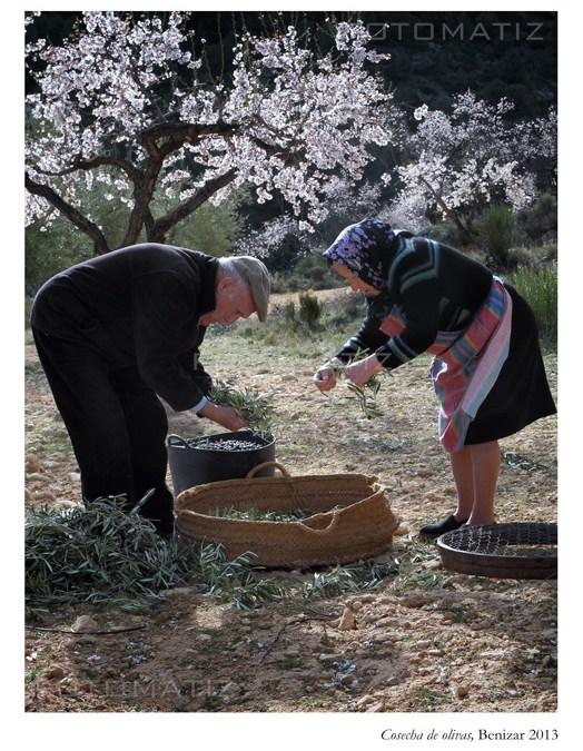 Cosecha de olivas en Benizar