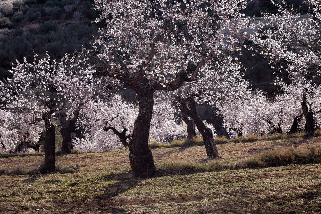 Floración de almendros en Benizar