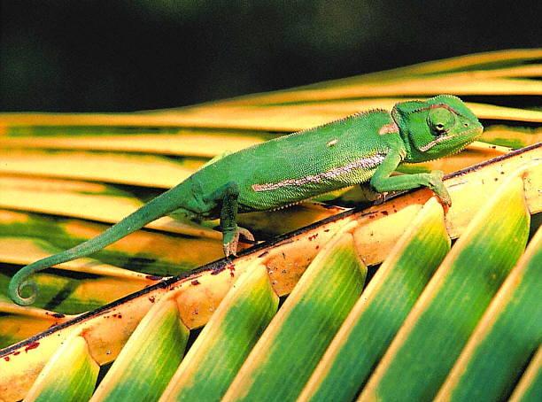 El Camalen un lagarto experto en camuflaje