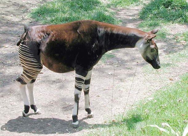 Okapi del Zaire