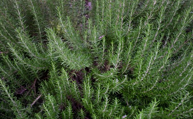 Foto de romero una hierba mediterrnea