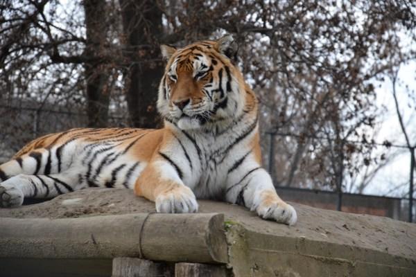 Siberian Tiger in Skopje Zoo