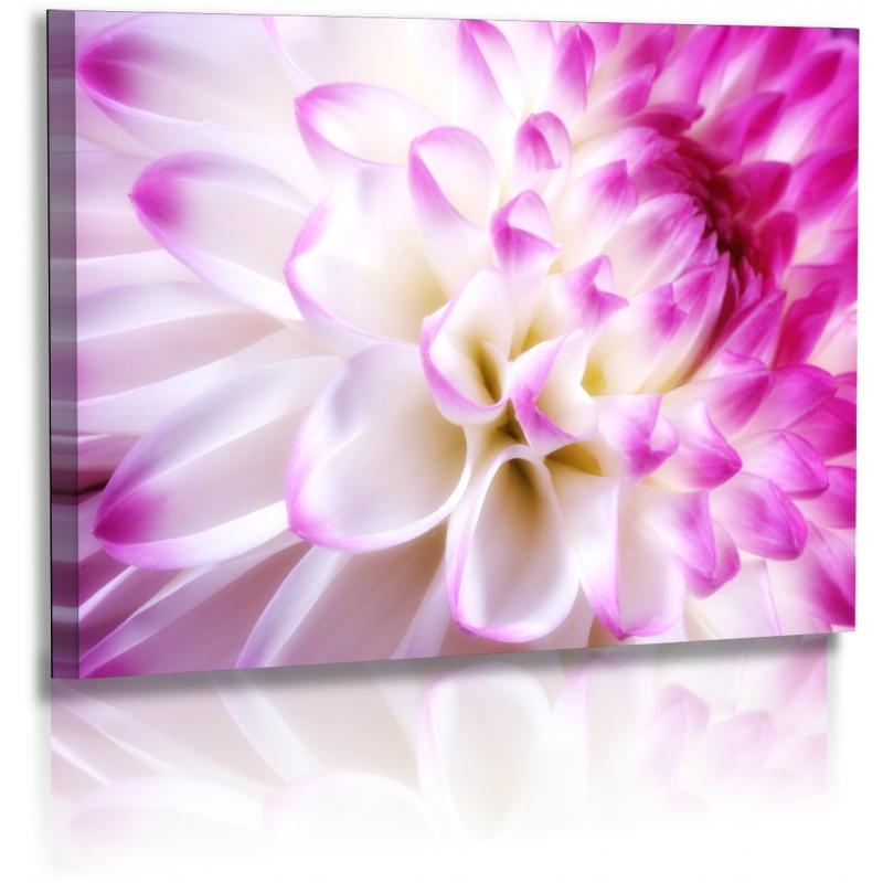 Naturbilder  Blumenfotos  Dahlien  Bilder  Weiss  Lila  Blumen
