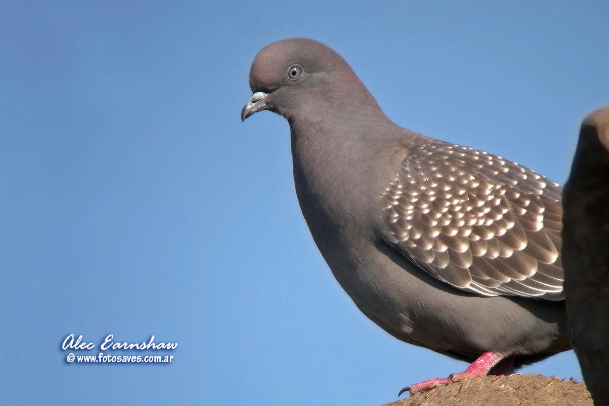 Photos of Doves  Palomas  Columbiformes  Argentina