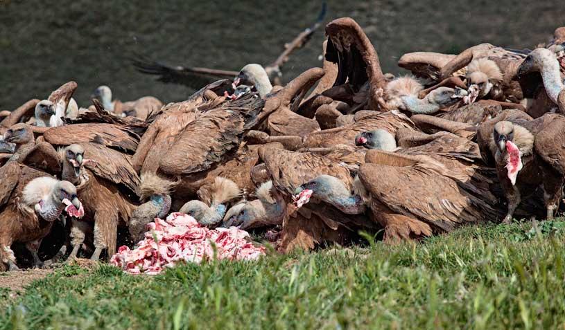 buitres-carroña-comida
