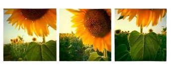 pinhole-foto-siqui-estenopeica-girasol