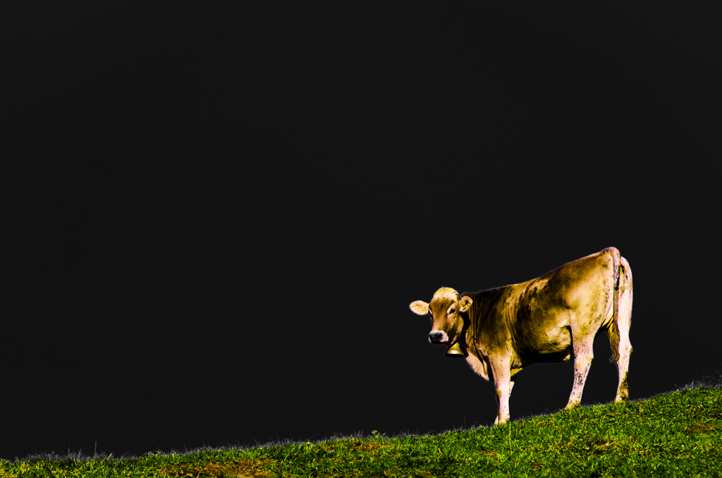 Magic Cow