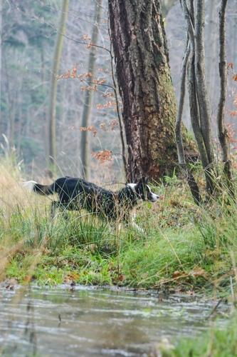Fotografia psa biegnącego naspacerze