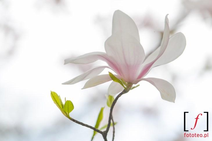 Kwiat mangolii Cieszyn foto