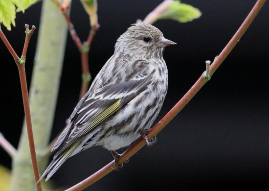 PineSiskin Burnaby BC Canada Birds