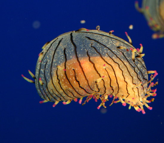 Sea Jelly - Vancouver Aquarium