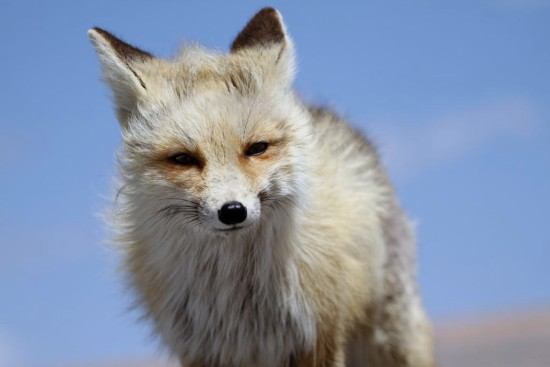 fox PikesPeak Colorado Wildlife
