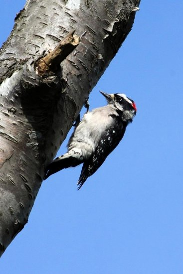 Downy Woodpecker building a home