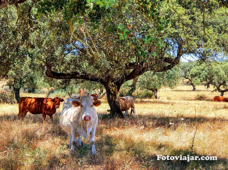 vacas alentejo