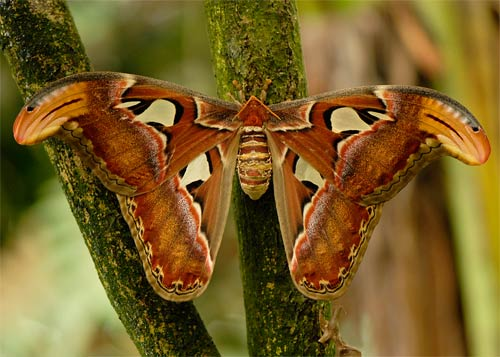 atlas moth wall print