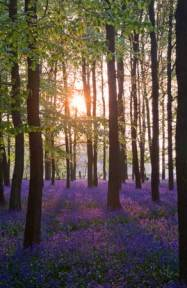 Bluebell Sunrise  canvas poster Print