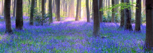 bluebell panorama image on canvas