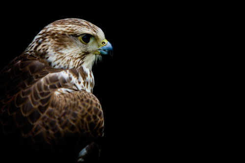 bird of prey photo on canvas
