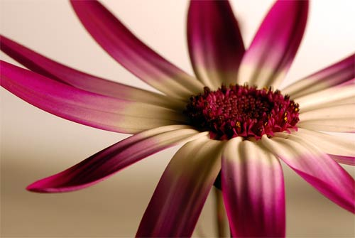 Pericallis by Jacky Parker