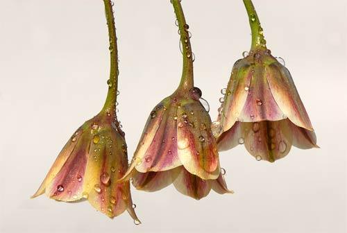 dew bells flower print