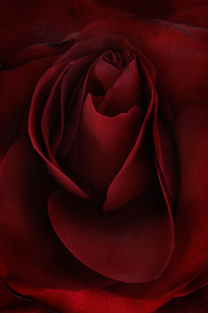 velvet rose floral print photo on canvas