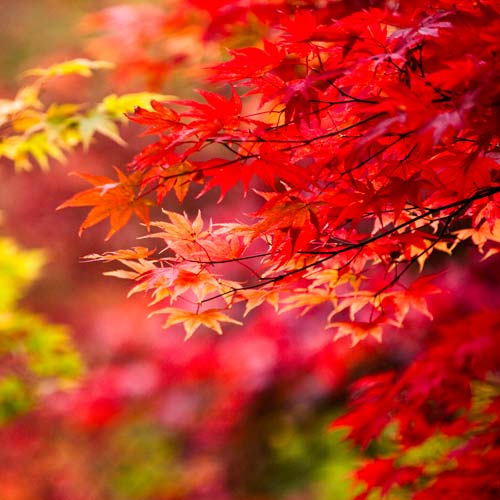 Autumn Acer by Doug Chinnery