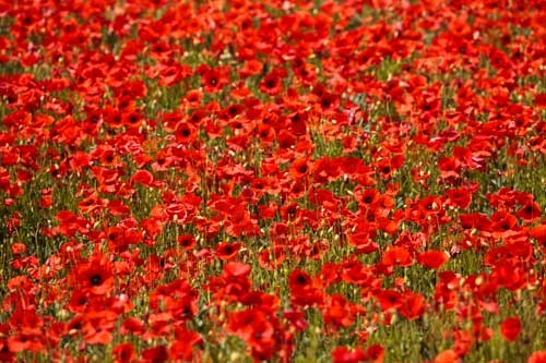 Red poppy field by Rick Bowden