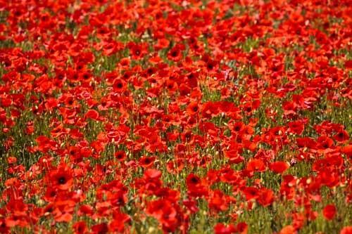 Red poppy field by Rick Bowden