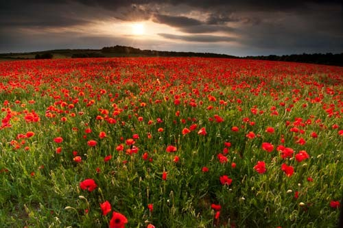 Poppy field by doug chinnery